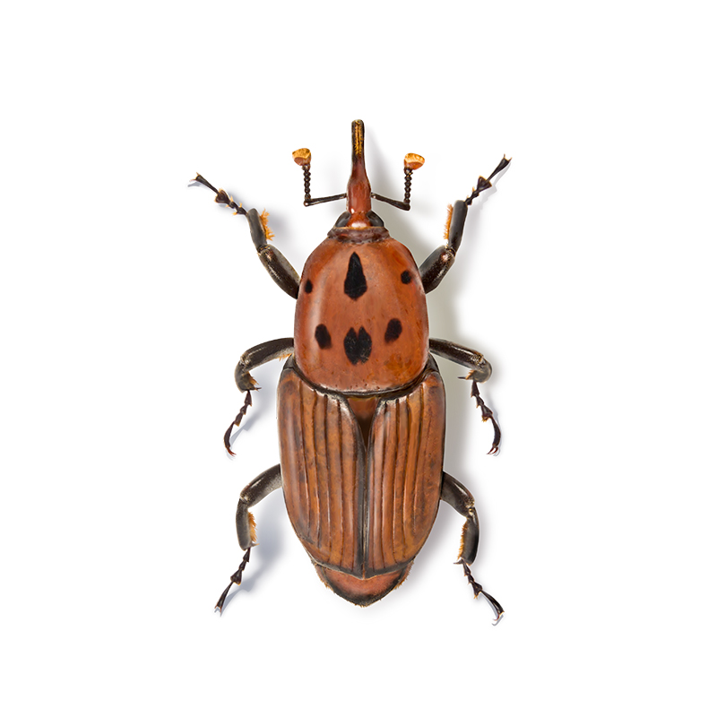 Sedq | Red palm weevil
